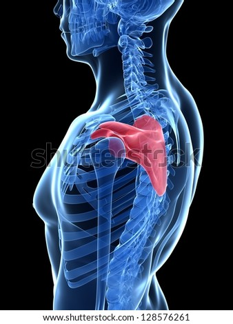 3d rendered illustration - shoulder blade