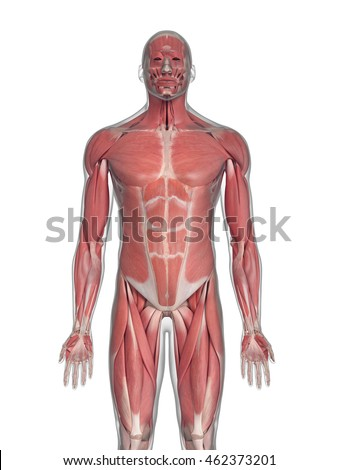 3d rendered medically accurate illustration of the muscles