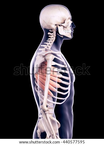 3d rendered, medically accurate illustration of the serratus anterior