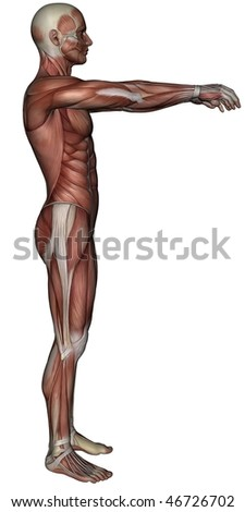 3D rendered muscle of man on white background isolated