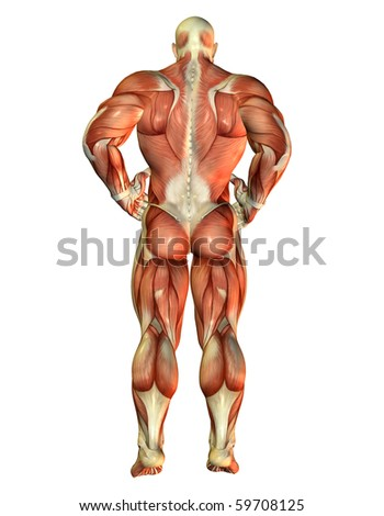 3D Rendering Muscle Body Builder view back - stock photo