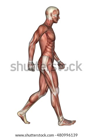 3D rendering of a walking male anatomy figure with muscles map isolated on white background