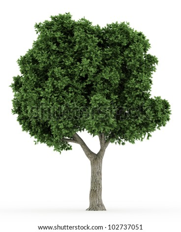3d   Sugar Maple tree  isolated over white - stock photo