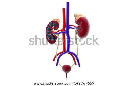 3D urinary system - stock photo