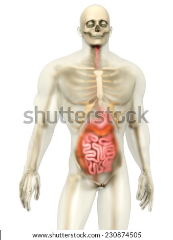 3D visualization of the human anatomy. The digestive system in a semi transparent male body isolated on white.  - stock photo