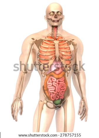 3D visualization of the human anatomy. The Internal Organs in a semi transparent male body isolated on white. - stock photo