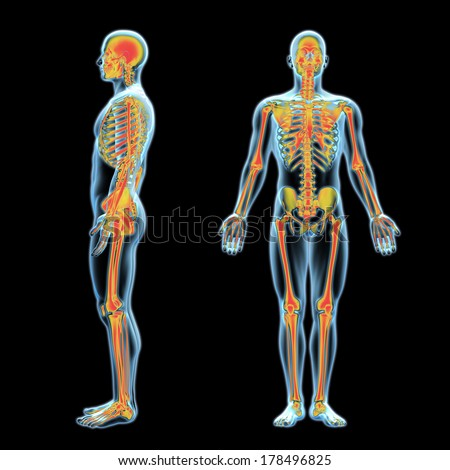 3d x-ray human anatomy model with skeleton inside side and front view - stock photo