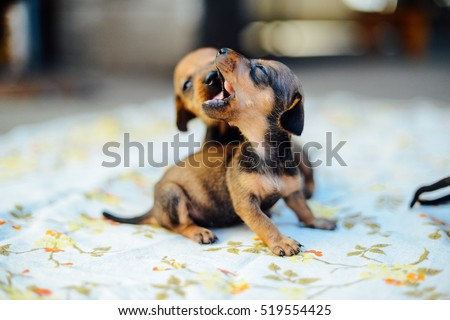 Dachshund Stock Images Royalty Free Images Amp Vectors