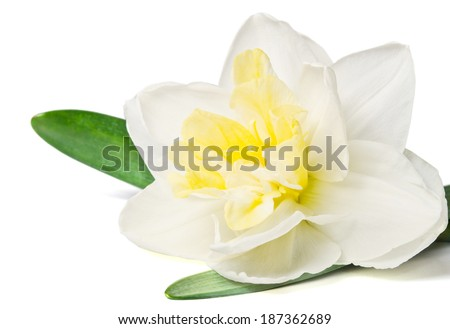 daffodil isolated on a white background