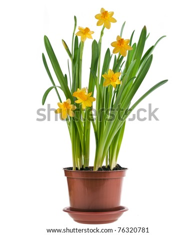 daffodils narcissus  isolated on white