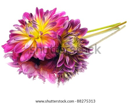 dahlia flower on a white background  with water drops - stock photo