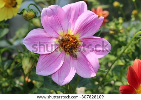 """""""Dahlia Pink Seedling"""" flower with bee in Innsbruck, Austria. It is classified as """"Single Flowered Dahlia"""" and native to Mexico.  - stock photo"""