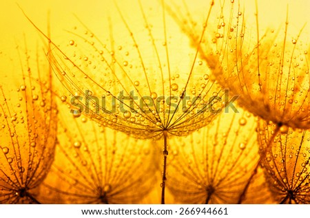 dandelion flower with water drops - stock photo