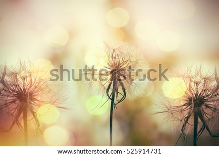 Dandelion seeds close up, beautiful dandelion seeds lit by sunlight