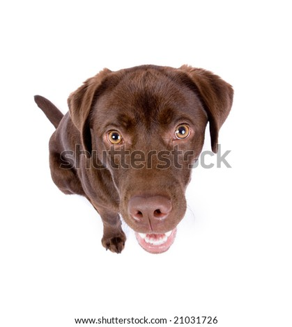 dark brown labrador dog looking up.  Isolated on white background. - stock photo