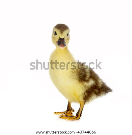 4 days old brown duckling standing on a white background - stock photo