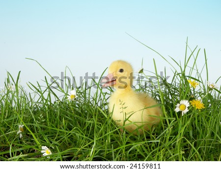 4 days old easter duckling meeting his first grass - stock photo