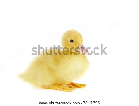4 days old easter duckling sitting at ease