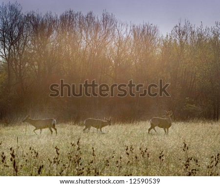 3 deer eating in a field in the early morning - stock photo