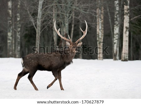 Deer on the snow. - stock photo