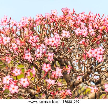 Desert Rose, Adenium obesum, bonsai tree - stock photo