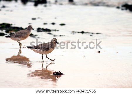 Detailed image of a beautiful shorebird  with reflex in the wet sand during low tide ( north of Portugal ) - stock photo