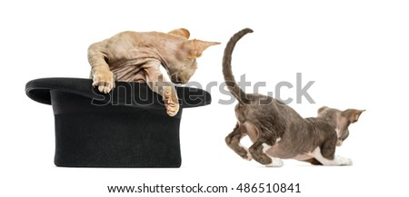 2 Devon rex getting out of a hat isolated on white