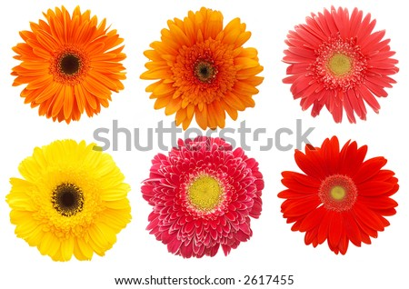 6 different daisy flowers on white background