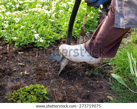 Dig with shovel for planting the daffodil        - stock photo