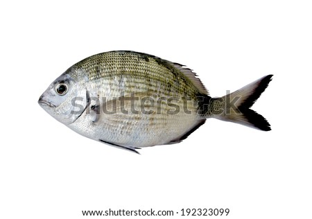 Diplodus Sargus white seabream fish - stock photo