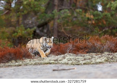 diverges tiger  - stock photo