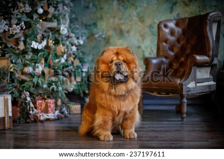 dog breed  chow chow, red dog on a retro studio background, christmas - stock photo