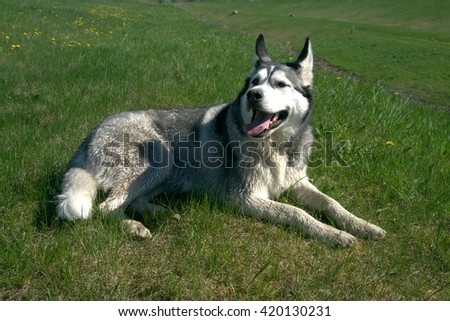 dog breed  malamute,  lie in the field,  grass green, nature,  color black white gray fluffy wool, the open mouth, has a rest, hot sunny day,