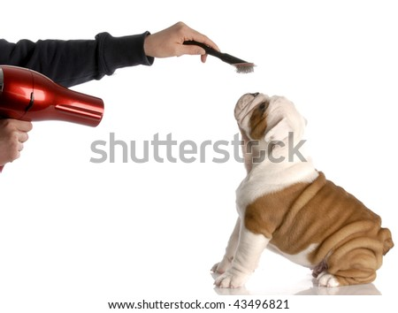 dog grooming - hands brushing nine week old english bulldog - stock photo