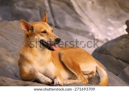 Dog lying on the rocks - stock photo