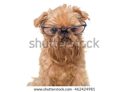 Dog portrait with glasses, breed Brussels Griffon isolated on white
