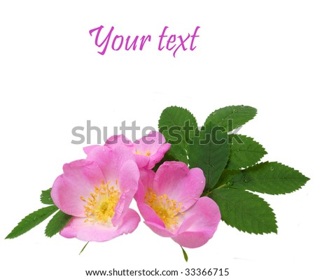 Dog rose isolated - stock photo