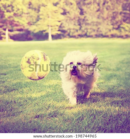 Dog running to try and catch a tennis ball in mid-air done with a retro vintage instagram filter  - stock photo