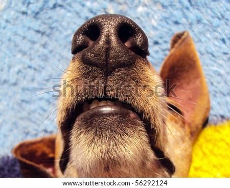 dog´s muzzle - teckel - stock photo