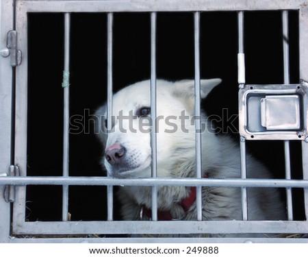 Dog waiting for next race (dog sledding). - stock photo