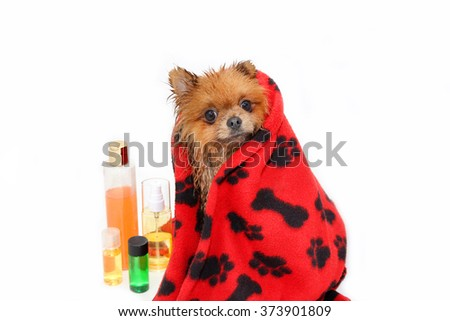 Dog wrapped in a towel. Well groomed dog. A pomeranian dog taking a shower. Dog on white background. Dog in bath. Dog grooming - stock photo