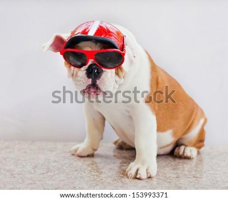 dogs in glasses - stock photo