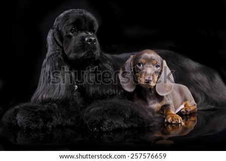 dogs sitting in front of black background - stock photo