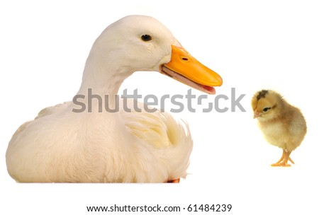 duck on a white background - stock photo