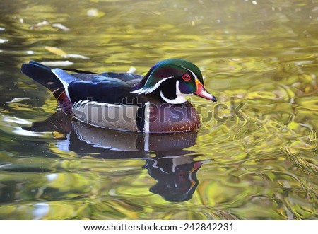 Duck on Water, Carolina Duck, Bird, Duck, Bird on Water, Green, Male Wood Duck, Duck Swimming, Bird Swimming, Duck - stock photo