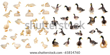 duck on white a background - stock photo