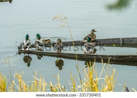 ducks sit on the sunken boat - stock photo