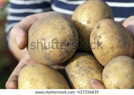 dug potatoes lying in the hands of a woman, close-up, small depth of field - stock photo