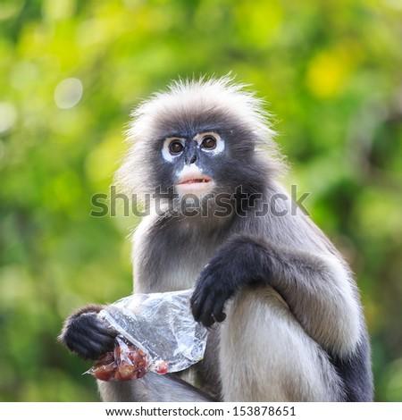 Dusky Leaf Monkey - stock photo