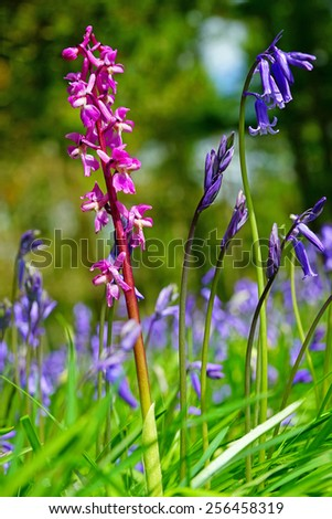 Early Purple Orchid (Orchis mascula) and Bluebells (Hyacinthoides non-scripta) in a woodland setting in Spring near to Painswick The Cotswolds Gloucestershire, United Kingdom